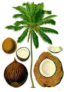 Coconut Oil (Cocos nucifera), liquid