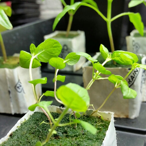 Seed starting and germination using rockwool