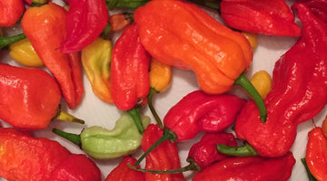The Ghost Pepper: Bhut Jolokia