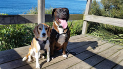 Beagle and Amstaff mix at beach lookout