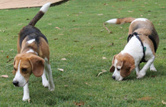 Beagles sniffing