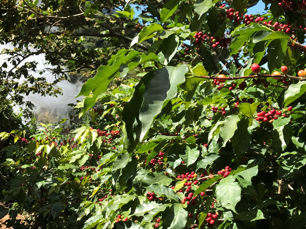 El Salvador Los Pirineos Washed Bourbon Arabica Green Coffee Beans (1kg)