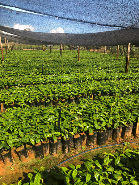 Brazil Screen 15 Natural  Fazenda Inhame Arabica Green Coffee Beans (1kg)