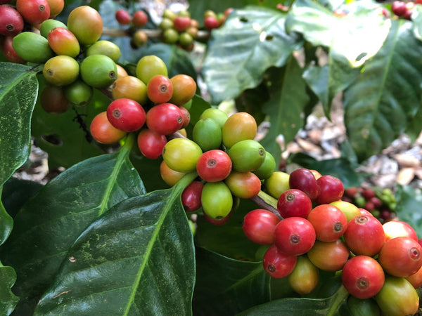El Salvador Finca San Rafael Red Bourbon Washed Anaerobc Arabica Green Coffee Beans (1kg)