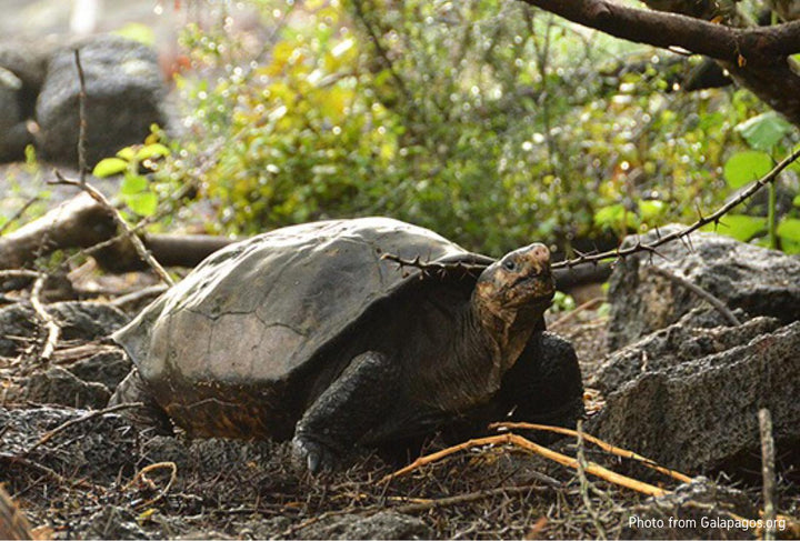 NEWS: Extinct Tortoise Found After 113 Years