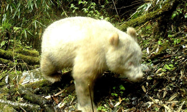NEWS: World's First Photo of an Albino Panda