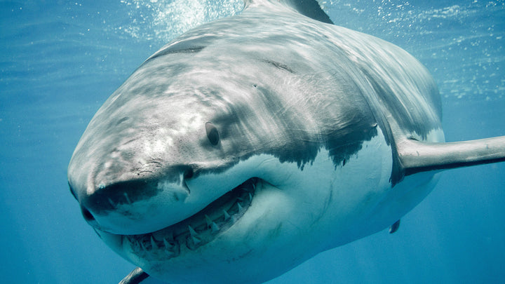 Sharks, the Rulers of the Sea Should Not Go Extinct