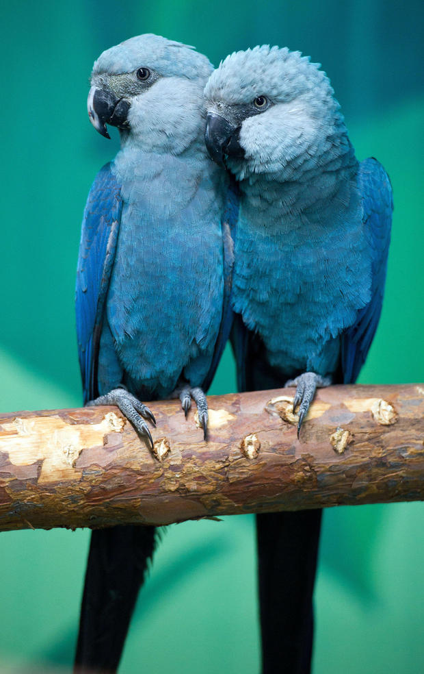 NEWS: Spix Macaw is officially extinct
