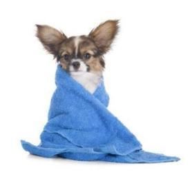 dog with towel wrapped around after having a bath