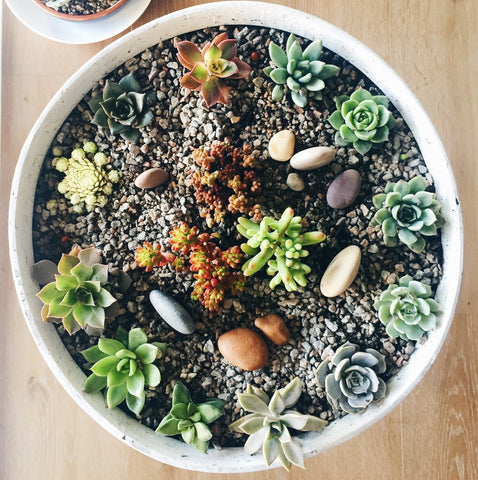 mini succulents garden