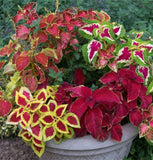 Coleus Mix Flower Seeds