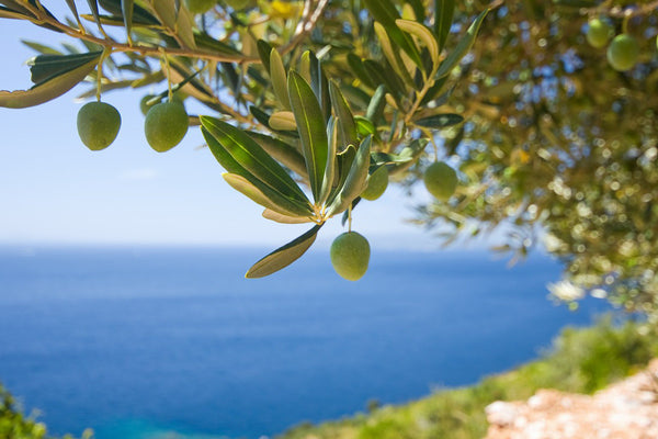 Plant an Olive Tree in Sicily