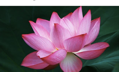 The Powerful and Beautiful Meaning of the Lotus Flower