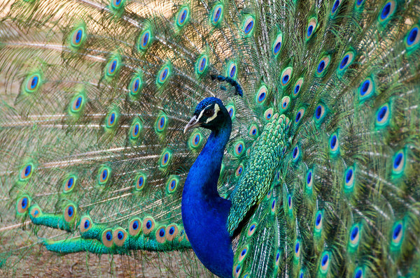 The Symbolic Meaning Of The Peacock – Red Rain Buddha
