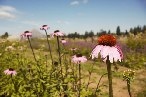Sourcing local fresh herbs echinacea