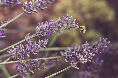 bee lavender self care Mickelberry Gardens