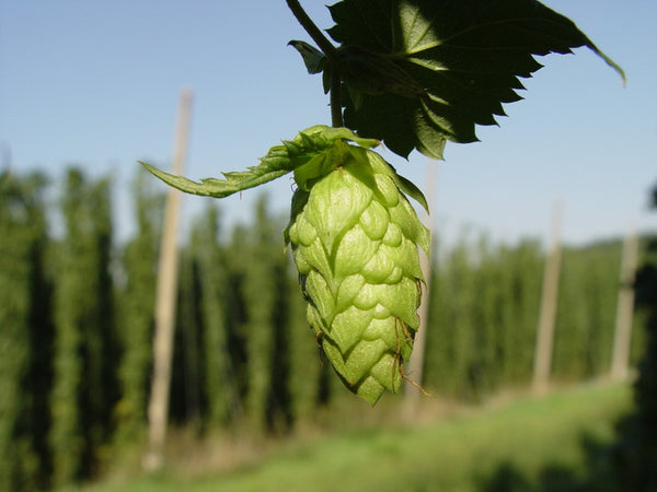 "The Yakima ""Hop"" - Copper"