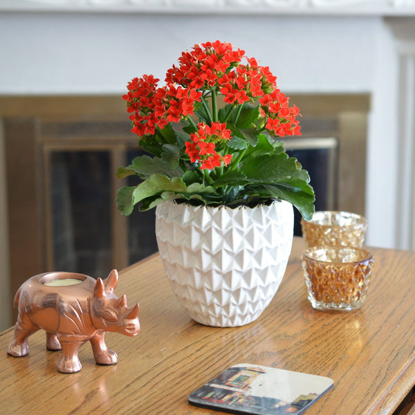 Kalanchoe Plant | Madagascar Widow's-Thrill | Succulent | Red Kalanchoe | Velvet Leaf