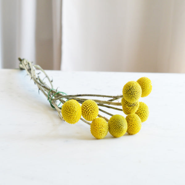 Billy Ball Bunch | Club Botanic | Billy Button Bunch | Bunch of Billy Balls | Bunch of Billy Buttons | Craspedia Bunch | Bunch of Craspedia | Craspedia Stems | Billy Ball Stems | Billy Button Stems