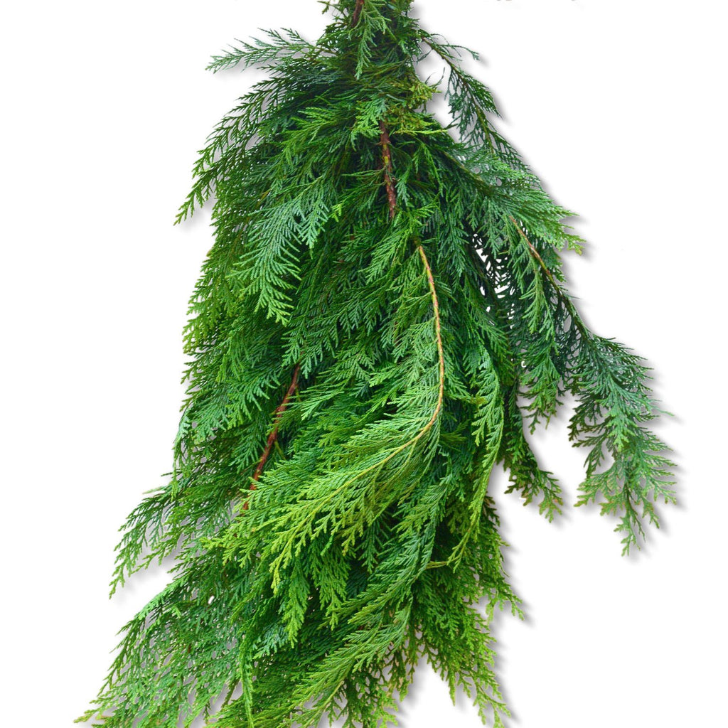 Fresh Cedar Bunch | Club Botanic | Bunch of Cedar | Cedar Branches | Branches of Cedar | Christmas Greens | Greens for Christmas
