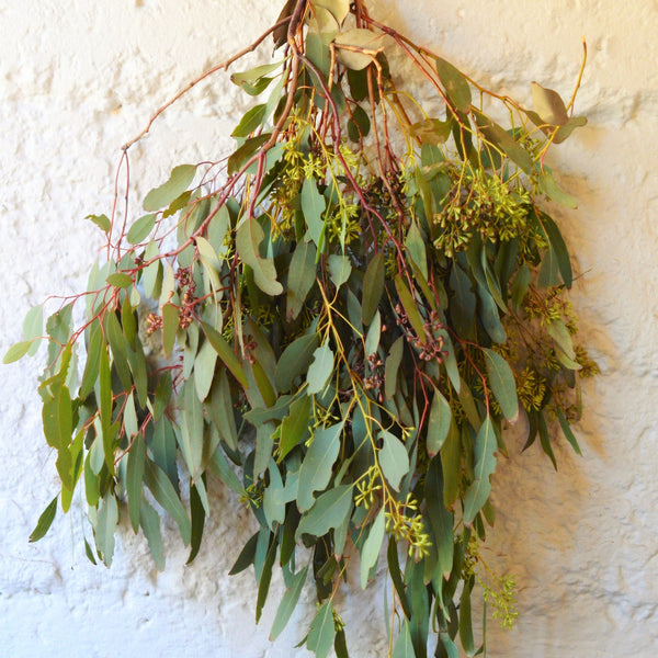 Seeded Eucalyptus Bunch | Club Botanic | Bunches of Seeded Eucalyptus | Eucalyptus Bunches | Eucalyptus Branches | Branches of Seeded Eucalyptus