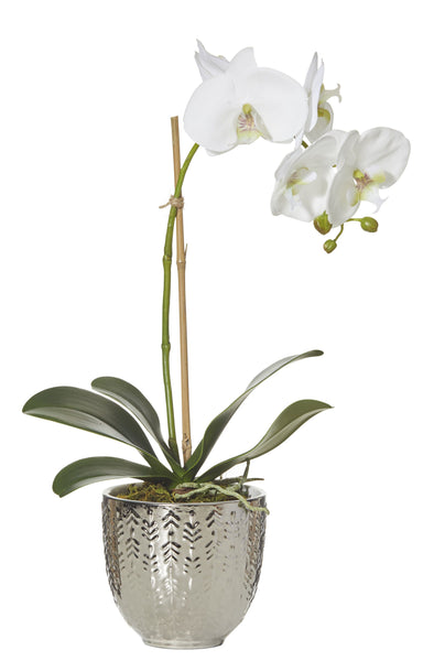 Large Deluxe Orchid In Silver Pot