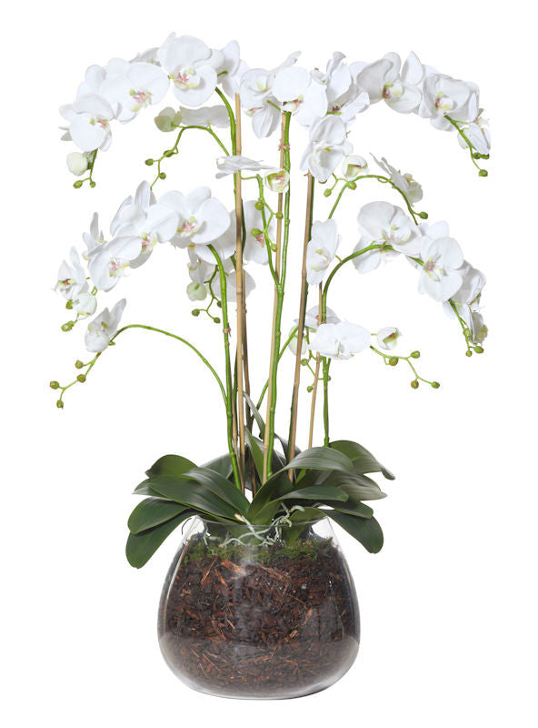Luxury Large Orchid In Glass Garden Vase