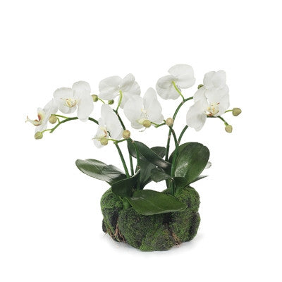 Orchid In Soil Pot
