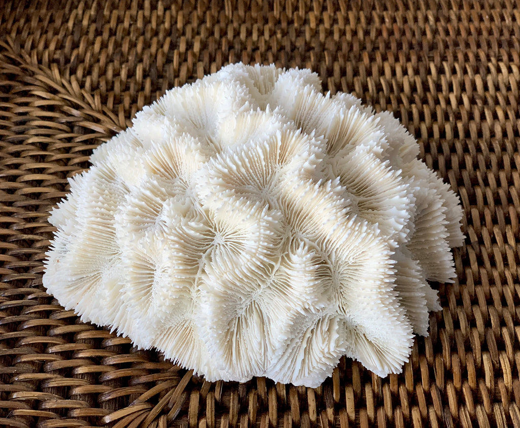 Small Specialty Brain Coral