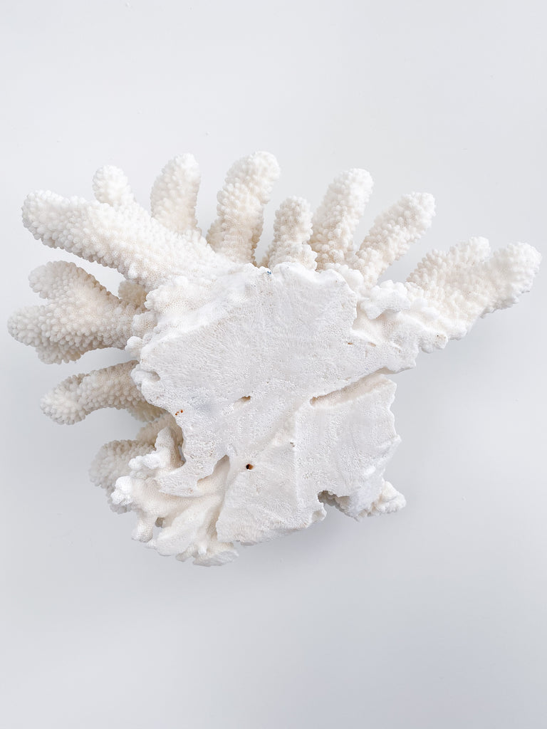 Extra Large Specialty Cauliflower Coral