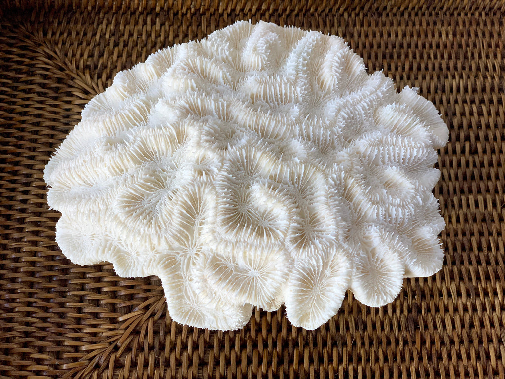 Medium Specialty Brain Coral