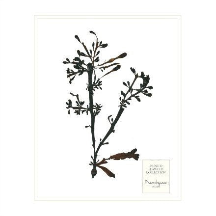 Brown Seaweed Prints - WJC Design