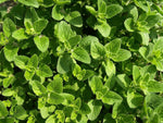 Oregano (zaatar) and Thyme: what's the difference?
