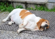 Overweight Pets - What To Do?