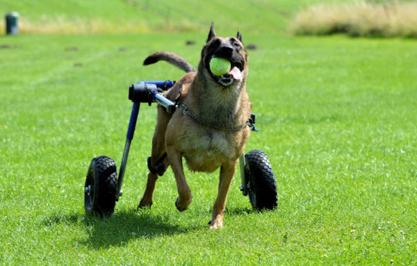Mobility for Your Paralyzed Dog