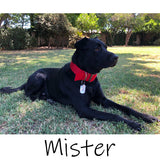 Model dog wearing 2 inch wide nylon collar for big dogs