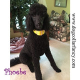 2 Inch Wide Big Dog Collar poodle model