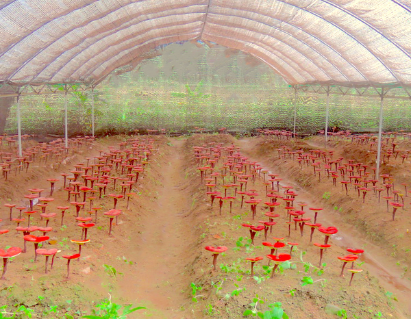 Field of farm-grown reishi