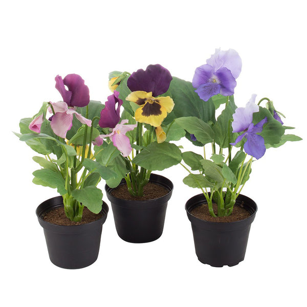 Pansy in Pot