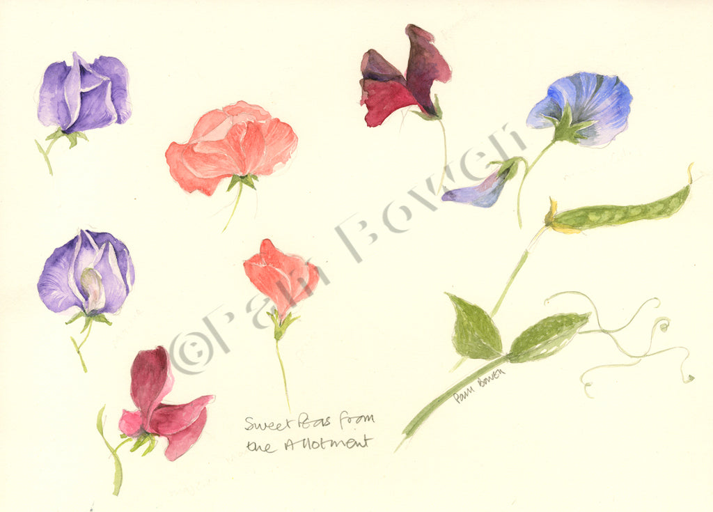 Sweet Peas from the Allotment