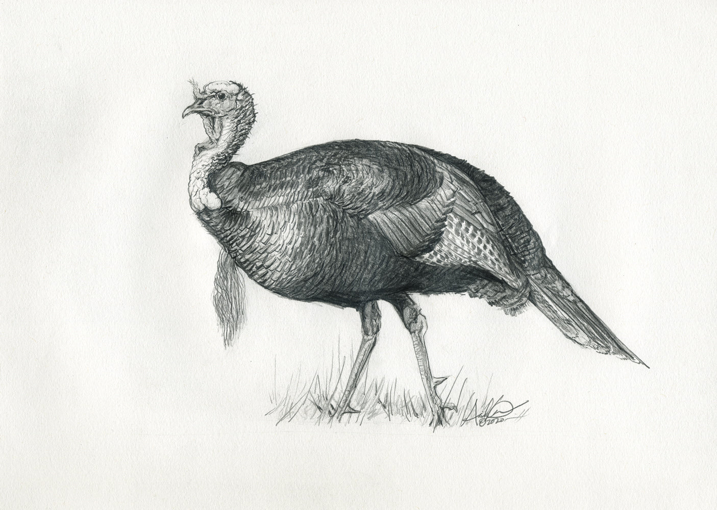 Original Turkey Illustration in Pencil, 8x10""