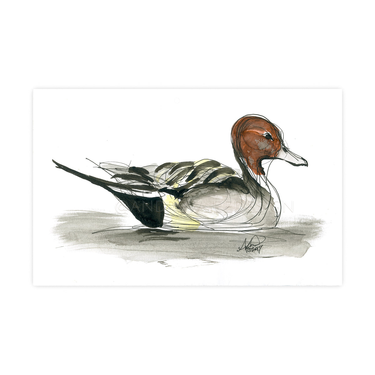 Pintail, Loose ink sketch study
