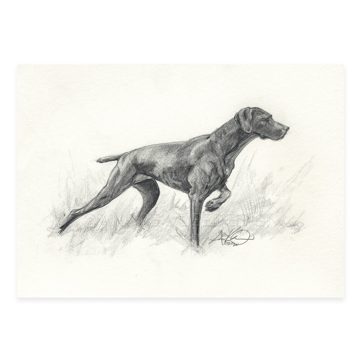 "German Shorthaired Pointer in Pencil, 5x7"" Print"