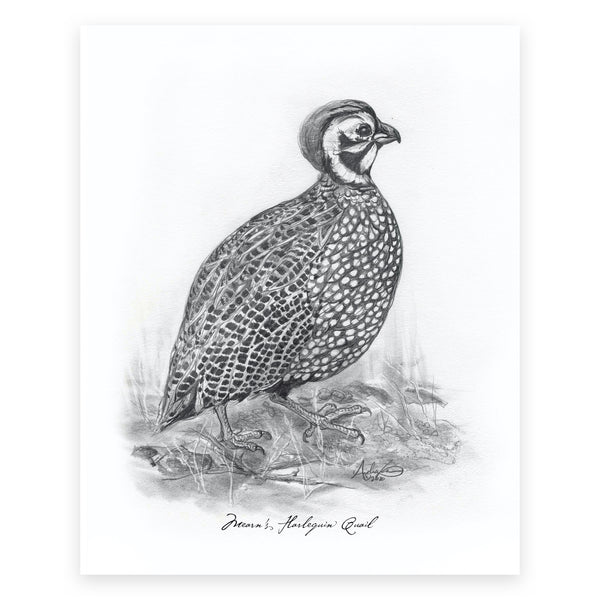 "Mearn's Harlequin Quail, 4 of 6, 8x10"" Print"