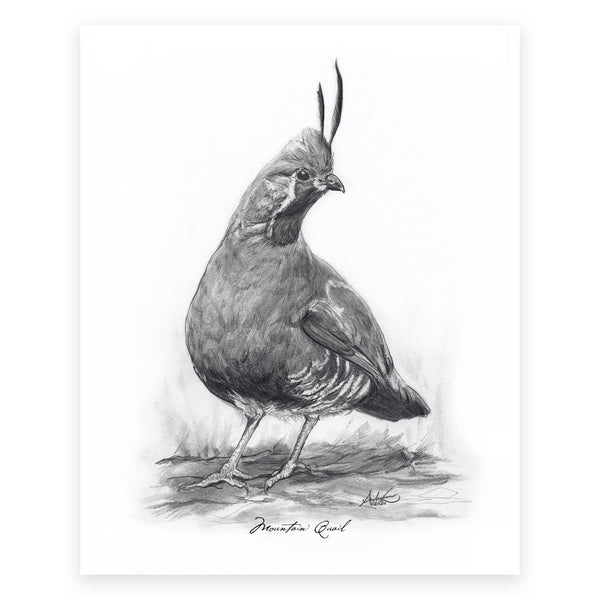 "Mountain Quail, 5 of 6, 8x10"" Print"