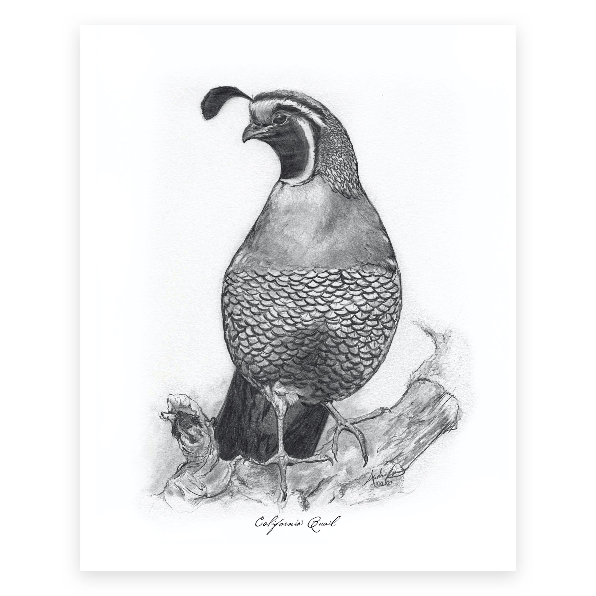 "California Quail, 2 of 6, 8x10"" Print"