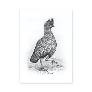 "North American Quail Illustrations, Series of 6, 5x7"" Prints"