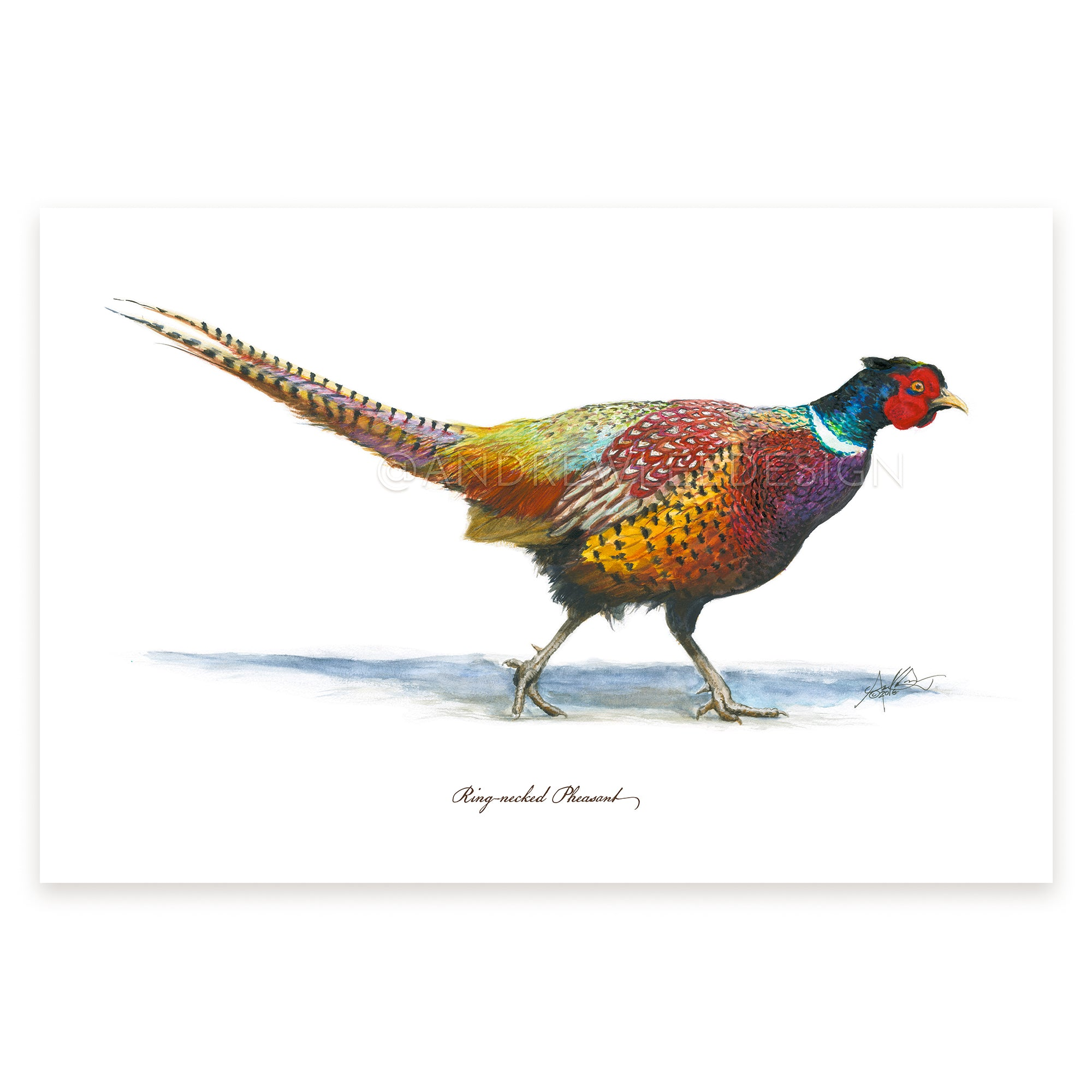 "Ring-necked Pheasant, 12x18"" Print"