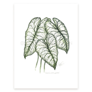 Caladium (white-speckled)