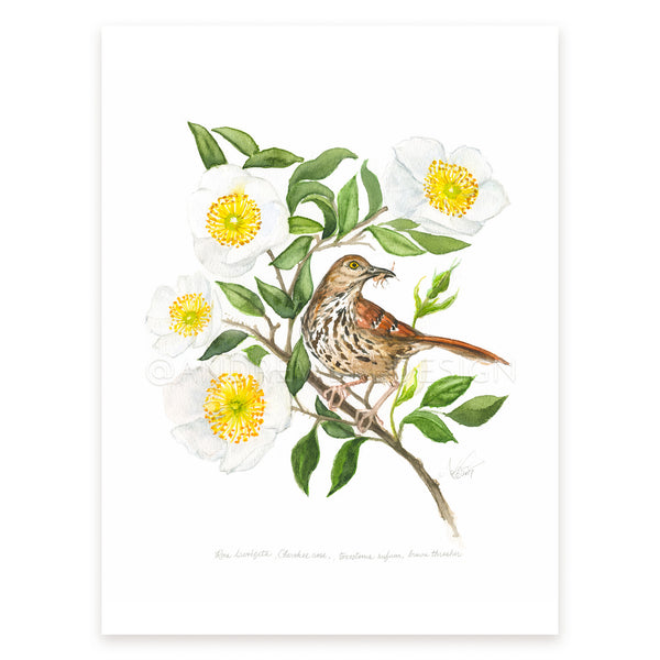 Cherokee Rose, Brown Thrasher